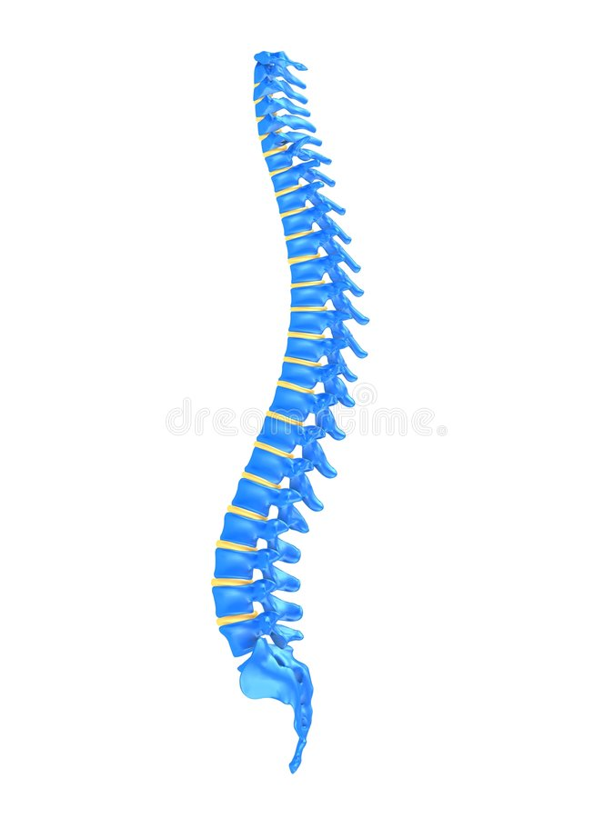 Human spine. 3d rendered anatomy illustration of a human spine vector illustration