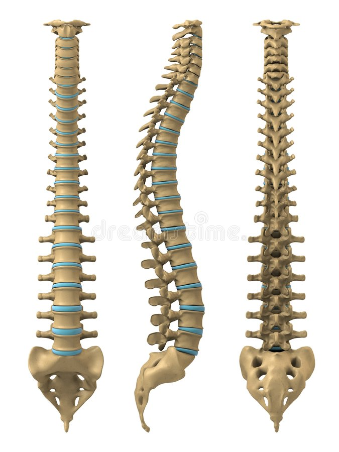 Human spine. 3d rendered anatomy illustration from different views of a human spine vector illustration