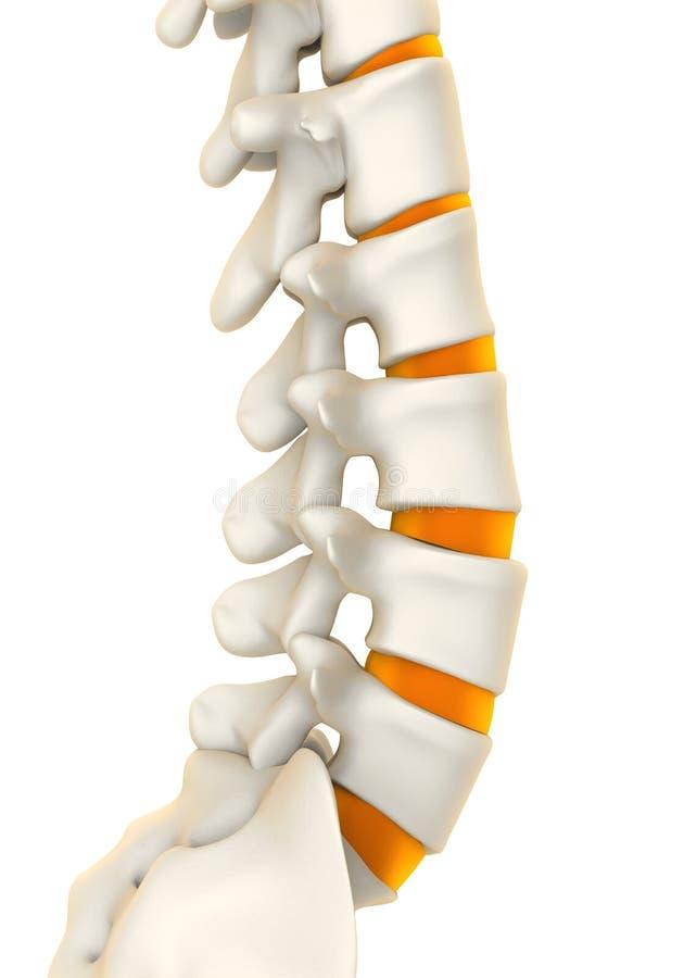 Human Spine Anatomy stock illustration