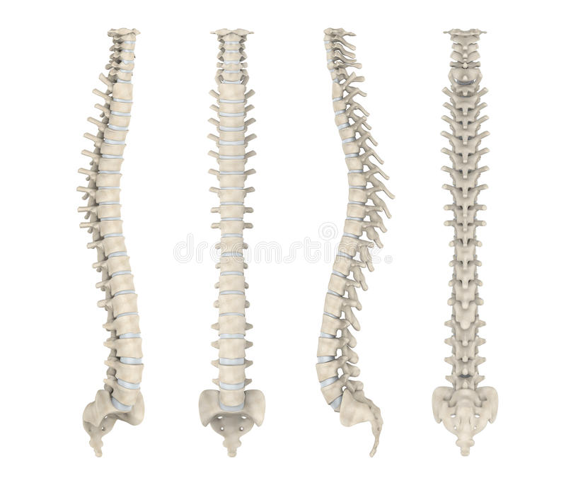 Human Spine Anatomy. Isolated on white background. 3D render stock illustration