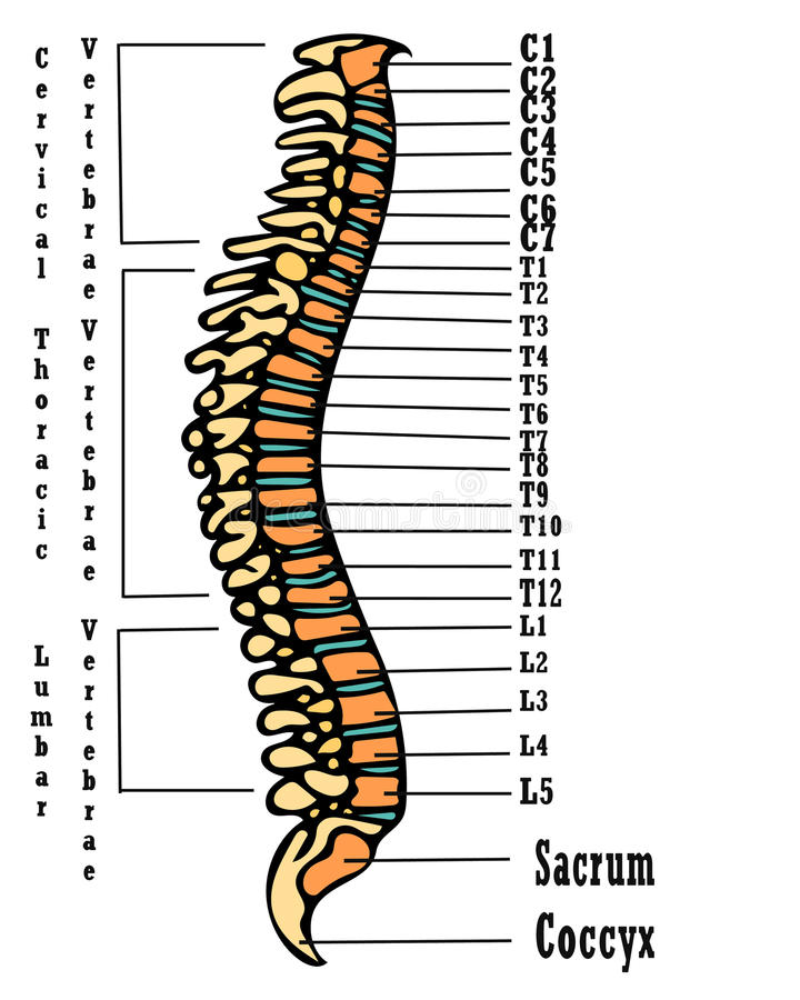 Human spine anatomy scheme. Very high hand drawing illustration. On this picture you can see anatomy of the human spine boney with the discription. Great picture stock illustration
