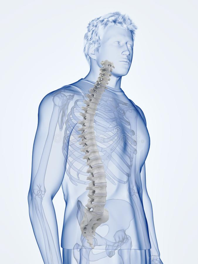 The human spine. 3d rendered medically accurate illustration of the human spine vector illustration