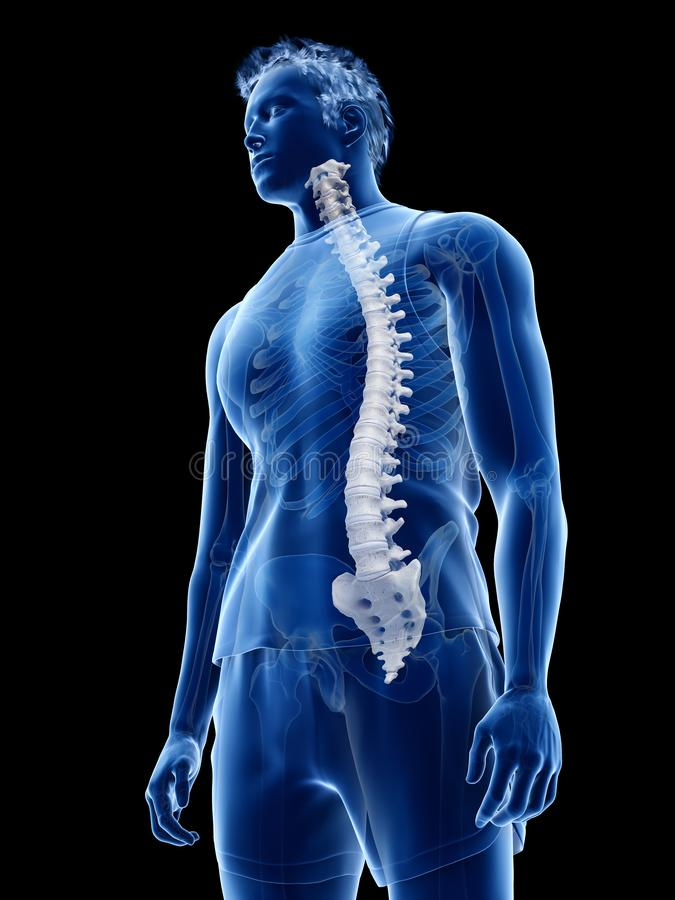 The human spine. 3d rendered medically accurate illustration of the human spine royalty free illustration