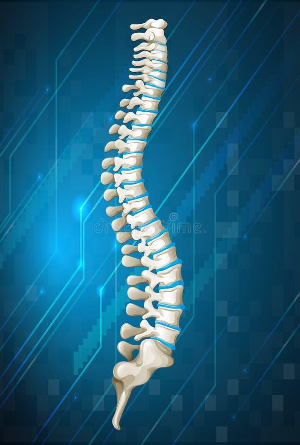 Human spine diagram on blue. Illustration stock illustration
