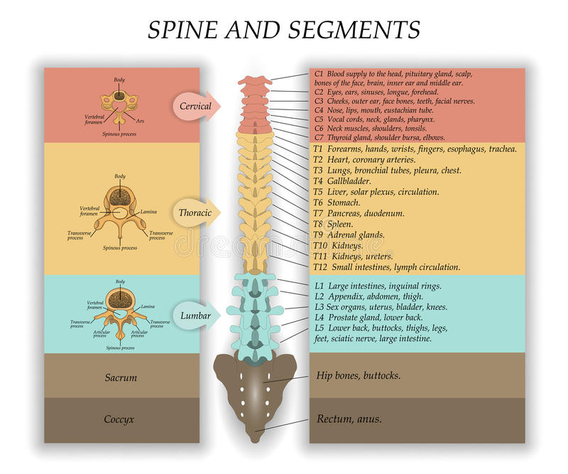 Human Spine in front, diagram with the name and description of all sections of the vertebrae and segments, vector illustration. Human Spine in front, diagram stock illustration