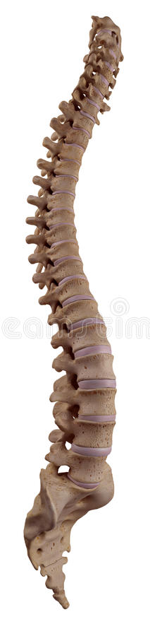 The human spine. Medically accurate illustration of the human spine royalty free illustration
