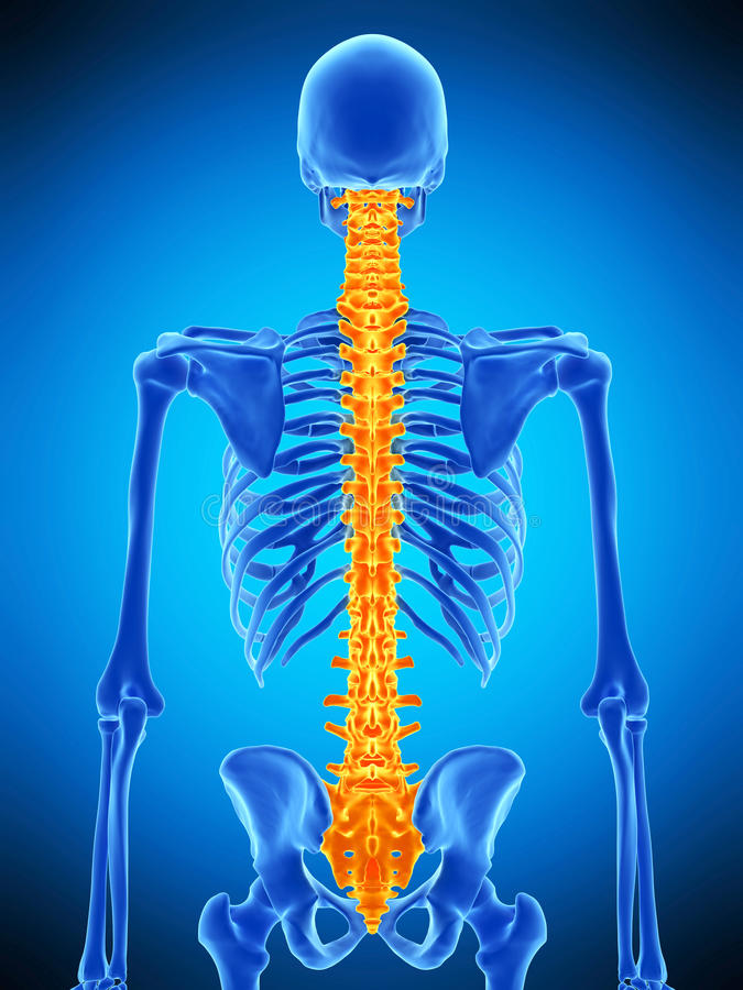 The human spine. Medically accurate illustration of the human spine stock illustration