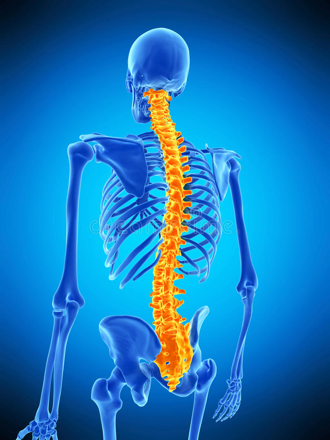 The human spine. Medically accurate illustration of the human spine vector illustration