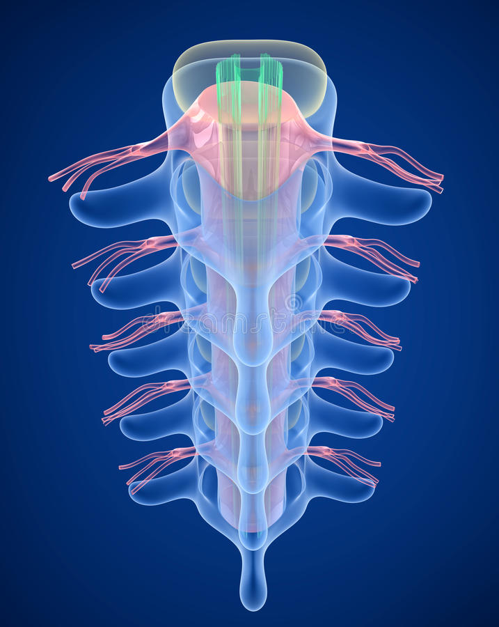 Human Spine x-ray view,. 3D render royalty free illustration