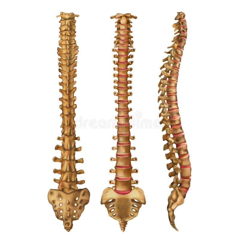 The human spine. Vertebral column. Backbone. Anterior, posterior, lateral sides. Vector illustration isolated on white background stock illustration