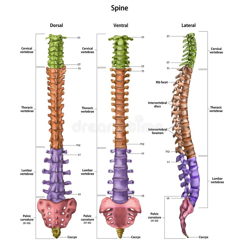 The human spine vertebral column with the name and description of all sites. Dorsal, lateral, ventral sides. Human anatomy. stock illustration