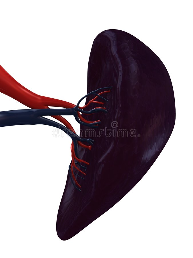 Human spleen vector illustration