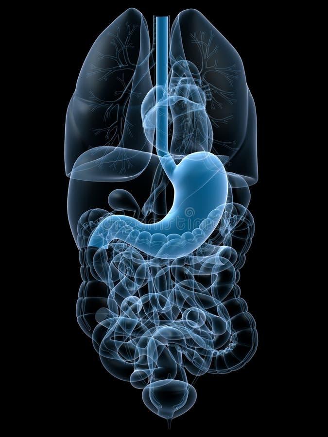 Human stomach. 3d rendered anatomy illustration of human organ with stomach stock illustration