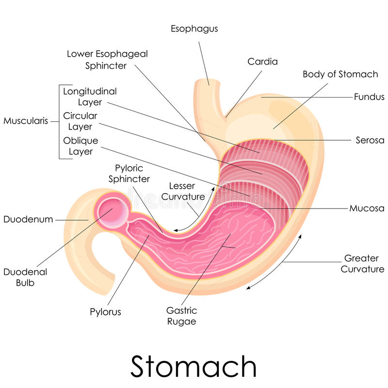 Human Stomach Anatomy. Vector illustration of diagram of human stomach anatomy vector illustration