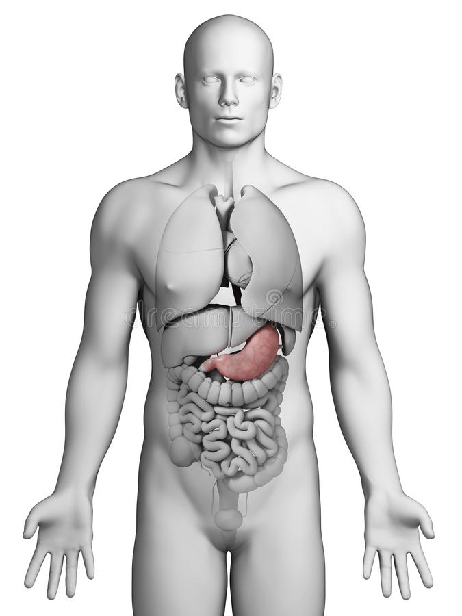Human stomach vector illustration