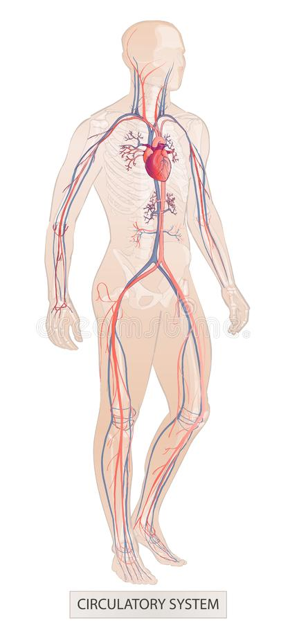 Human system. Human body parts. Man anatomy. Hand drown vector sketch illustration isolated. Human body parts. circulatory vascular system. man anatomy. Hand royalty free illustration