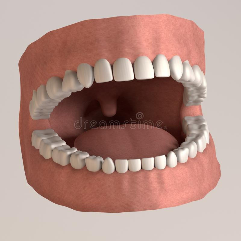 Human teeth - healthy with gums stock illustration