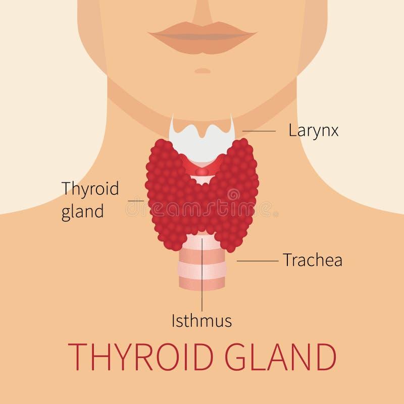 Human Thyroid Gland Diagram Stock Illustration