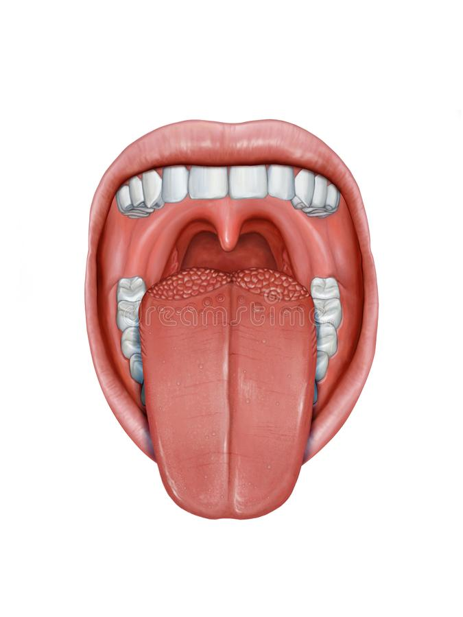 Human tongue anatomy vector illustration