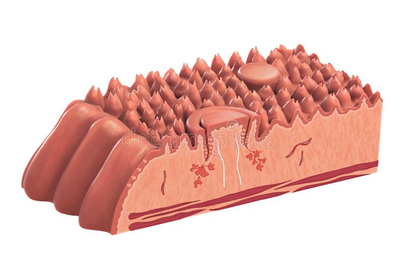 Human tongue cross-section royalty free illustration