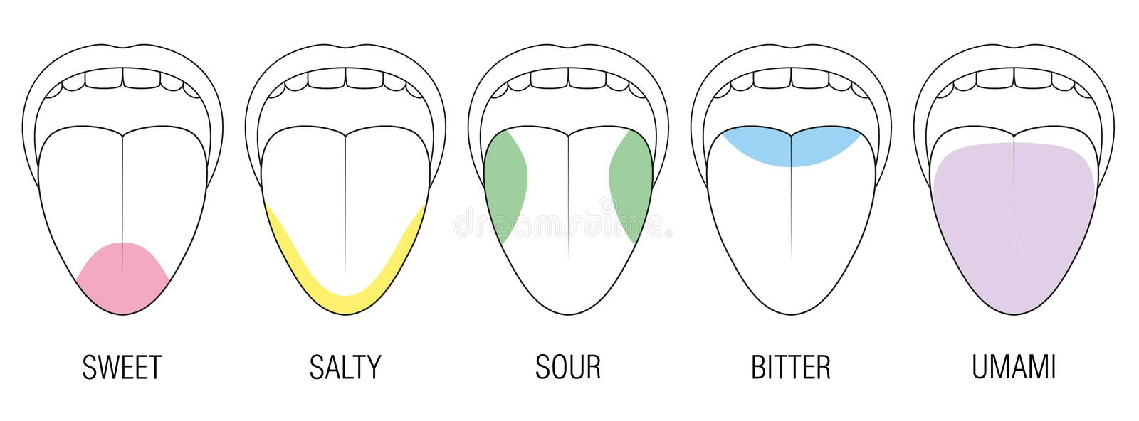 Taste Areas Human Tongue Colors Illustration. Human tongue with five taste areas - bitter, sour, sweet, salty and umami perception - colored division with zones vector illustration