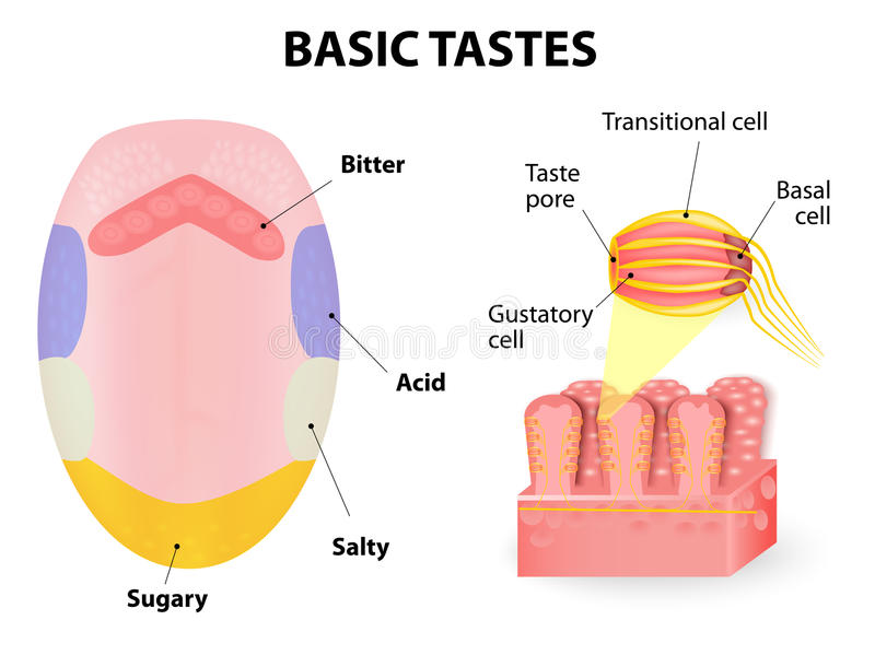 Human tongue. Taste receptors of the tongue are present in papillae, and are the receptors of taste. basic tastes sweet, sour, bitter and salty royalty free illustration