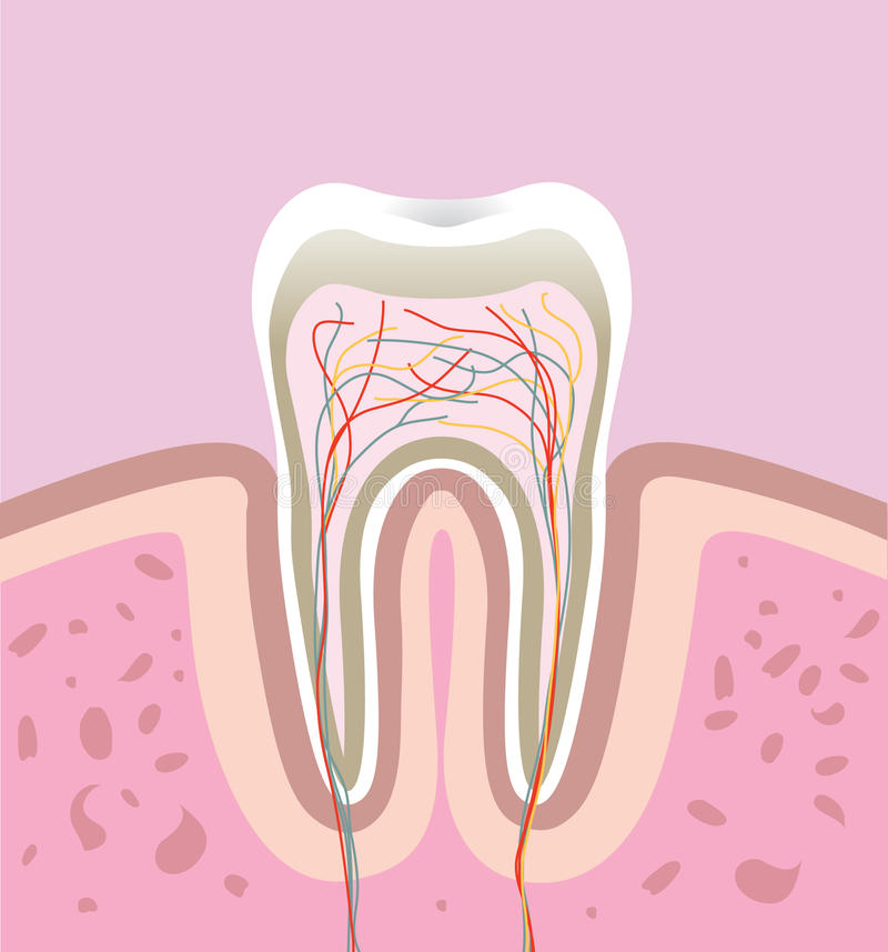 Human tooth stock illustration