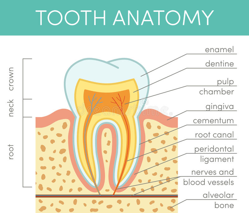 Human tooth anatomy. Vector diagram of healthy molar stock illustration