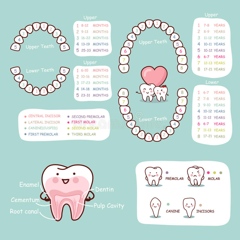 tooth anatomy chart - Mersn.proforum.co