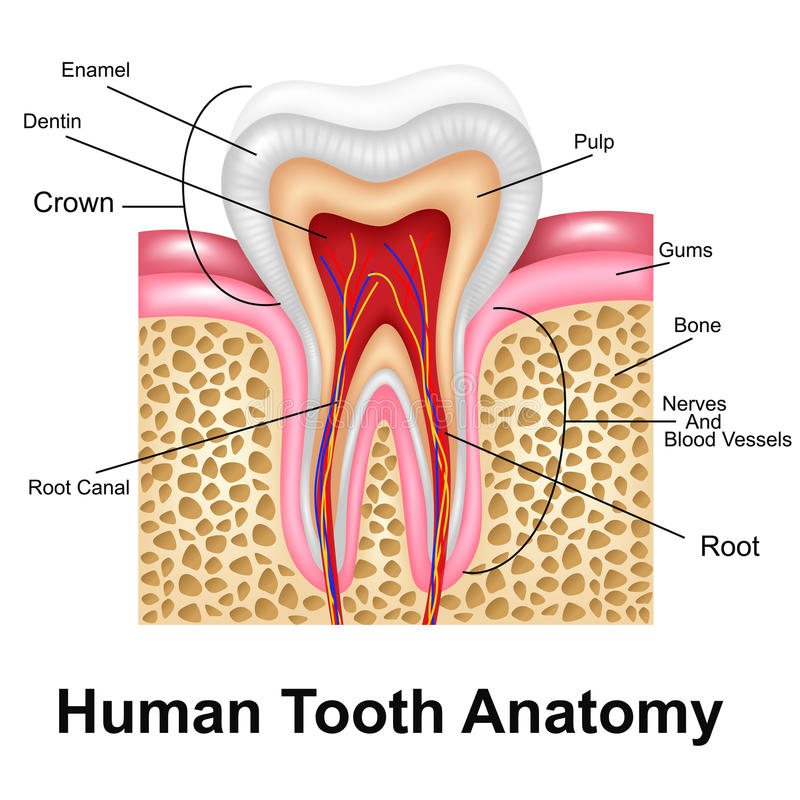 Human Tooth Detailed Anatomy vector illustration