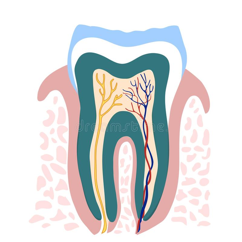 Human Tooth Detailed Illustration. Cut View vector illustration