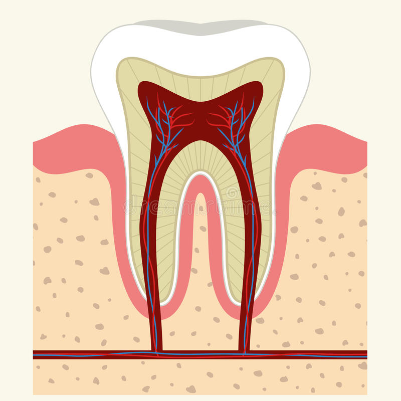 Human tooth and gum anatomy. Human tooth and gum in a cross section. Root canal. Detailed anatomy. Vector vector illustration