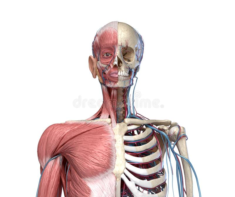 Human Torso skeleton with muscles, veins and arteries.  front view royalty free illustration