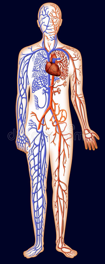 Download Human Vascular System stock illustration. Illustration of coronary - 22096446