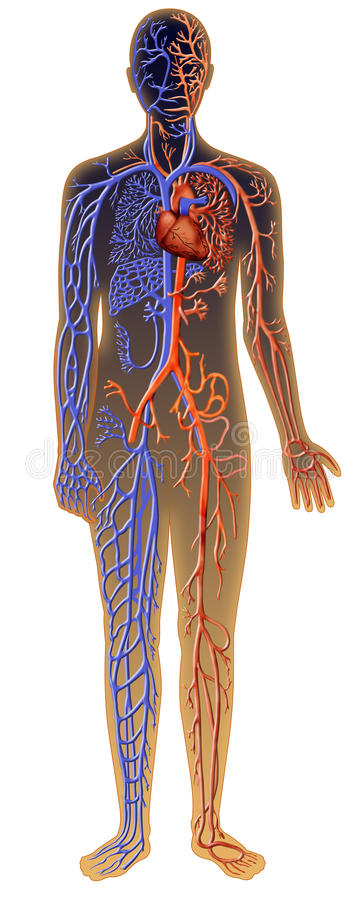 Human Vascular System Stock Illustration Illustration Of Beat