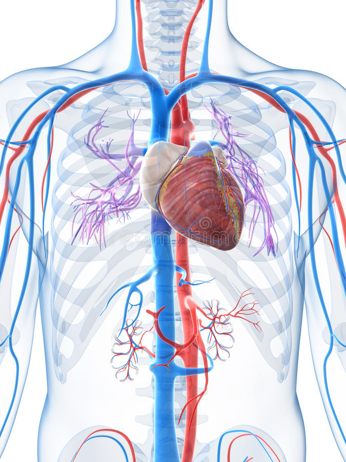 Human vascular system stock illustration. Illustration of vascular ...