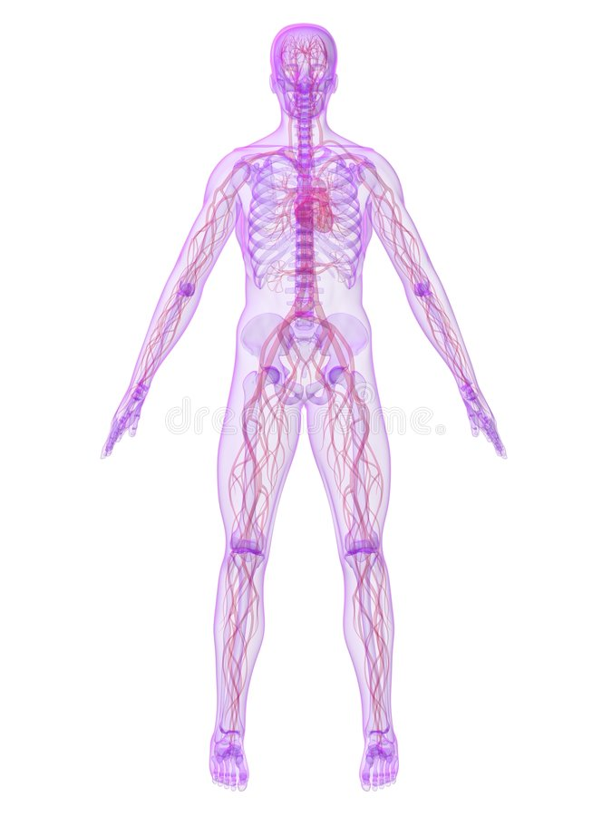 Human Vascular System Stock Illustration Illustration Of
