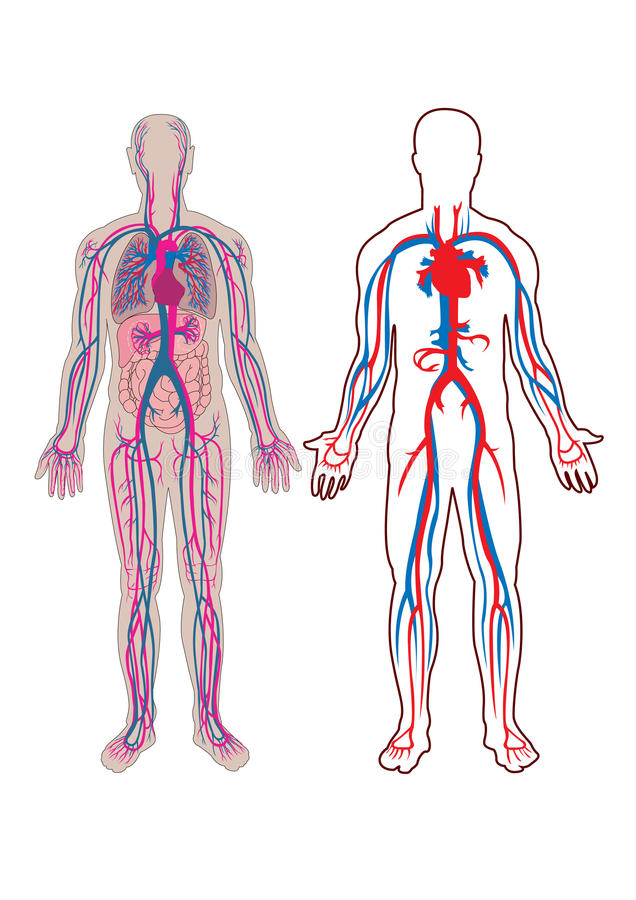 Human vein in. Diagram of the human vein and anatomy in vector illustration