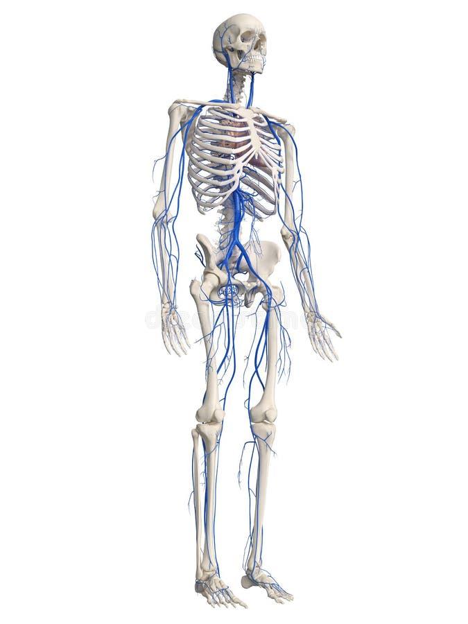 The human veins royalty free illustration