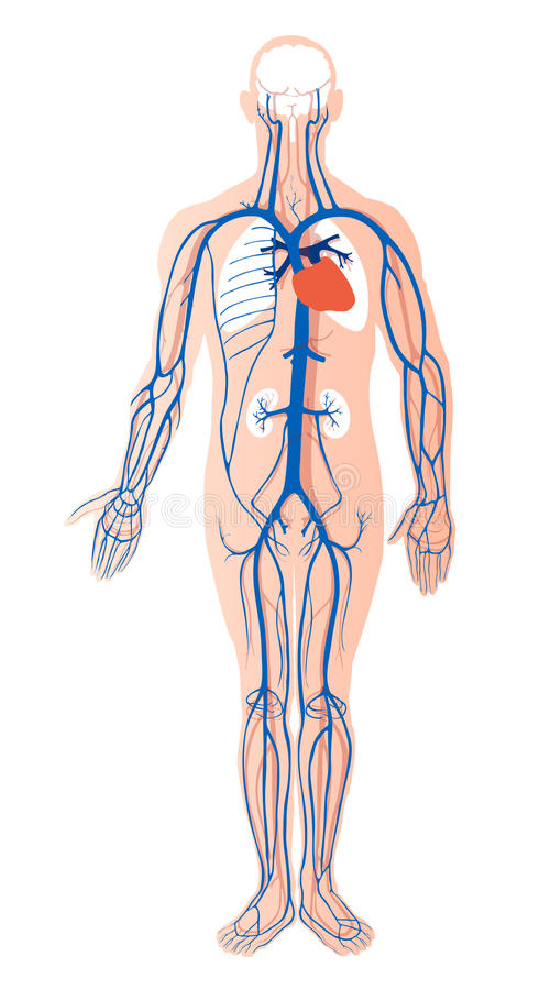 Human venous system. Vector illustration of human venous system with organs, related to health care, medicine, science, surgery and education stock illustration