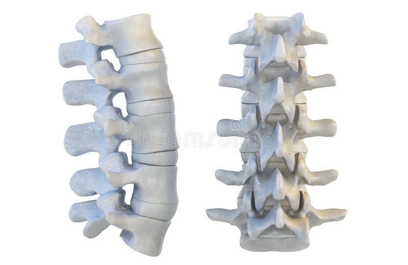 Human Vertebrae. 3D Illustration Stock Illustration - Illustration ...