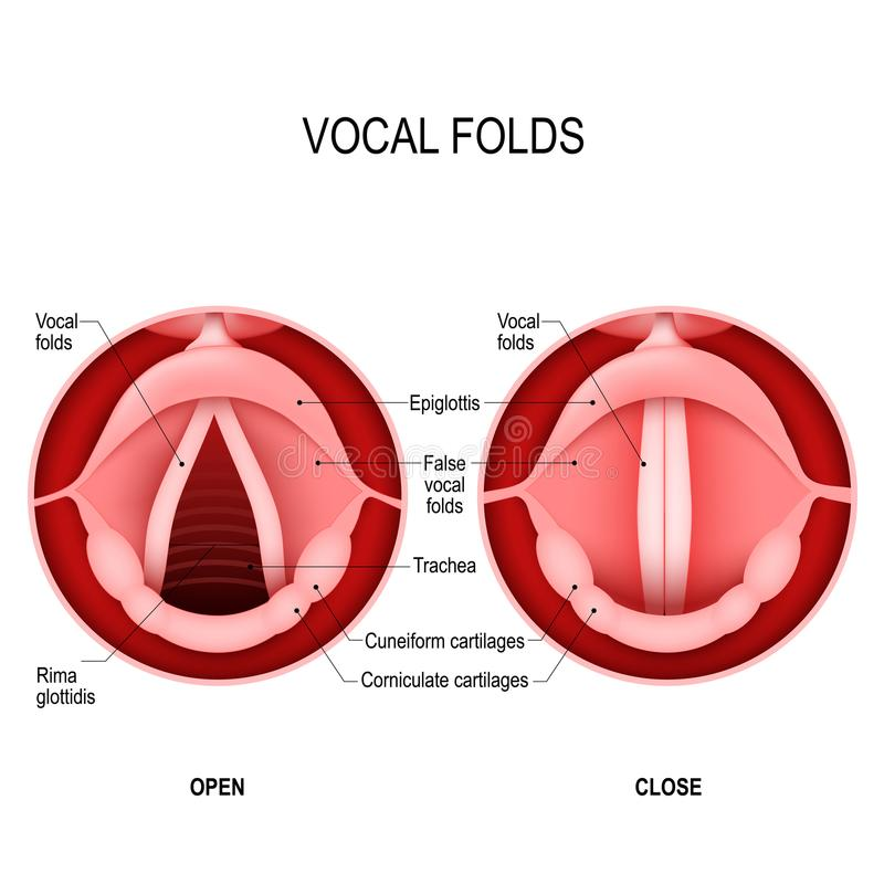 The Human Voice. open and closed vocal cords. voice reeds vector illustration