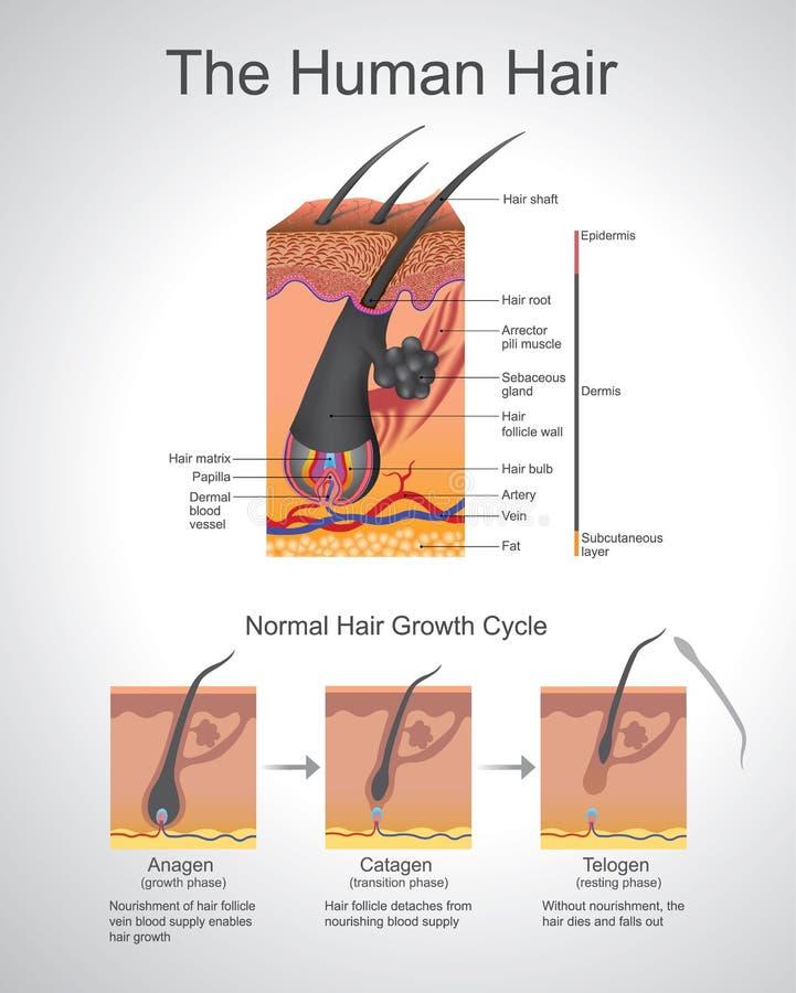 Humann Hair. vector illustration