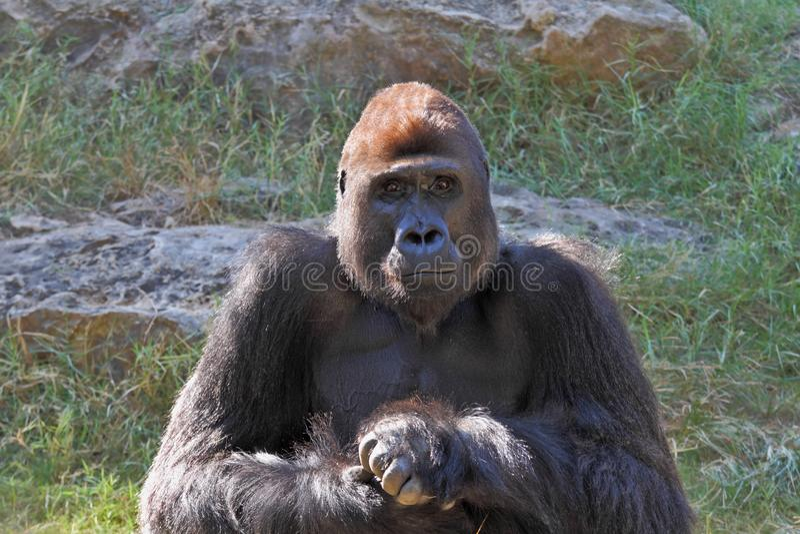 Humanoid Gorilla stockbild
