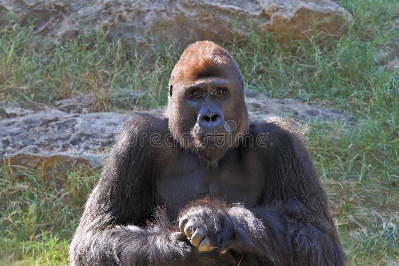 Humanoid gorilla. Stares at zoo visitors stock image