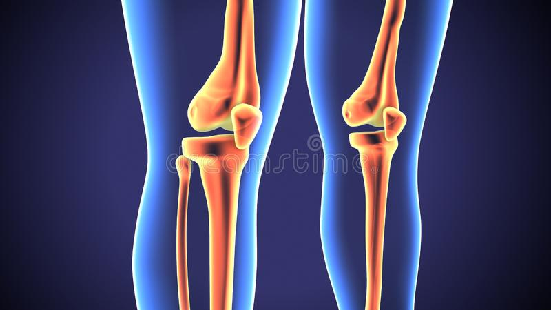 3d rendered anatomy illustration of a human knee joint royalty free illustration