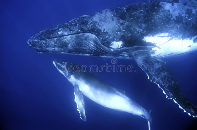 Humback whales. Humpback whale mother and calf