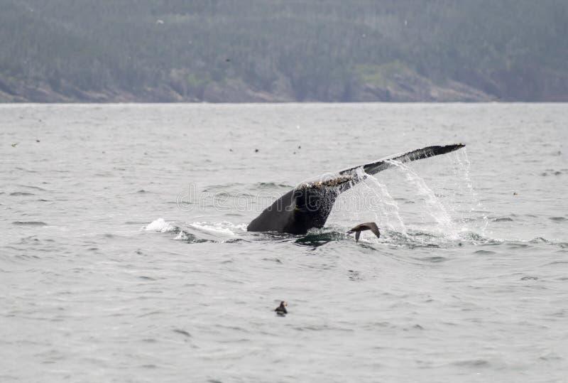Humback wieloryb, maskonur i murre, fotografia stock