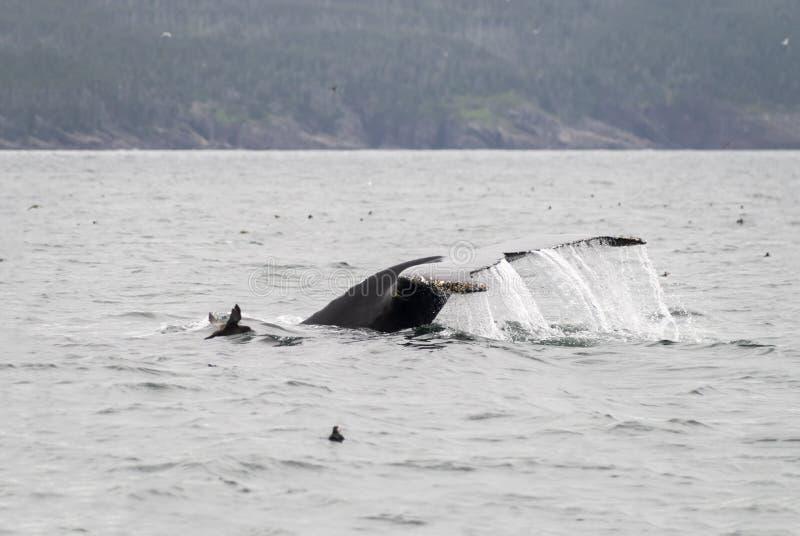 Humback wieloryb maskonur 2 i murre zdjęcia stock