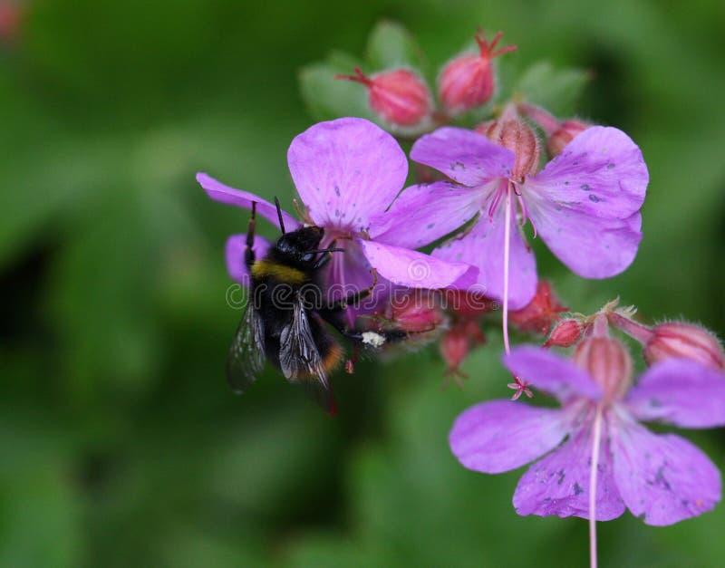 Humble bee. Sucking honey from flowers stock photo